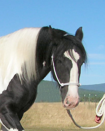 Face of Aisling, Gypsy Vanner Mare