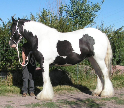 Our largest Gypsy Vanner mare Aisling