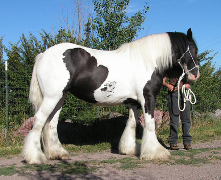 15.1 hh Gypsy Vanner Mare Aisling