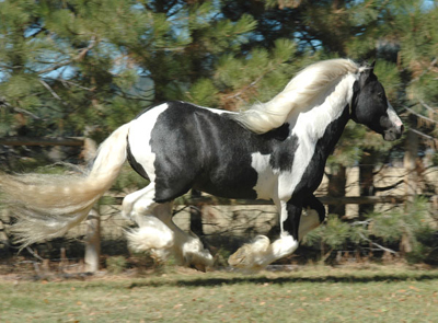 Gypsy Vanner stallion getting air time